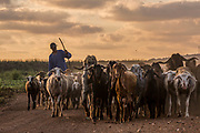 Bedouin shepherd and a herd of goats Photographed in Israel