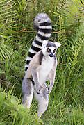 Madagascar, Vakona  forest Ring tailed lemur (Lemur catta)
