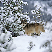 Gray Wolf (Canis lupus) adult in the snowy pine forest of the Rocky Mountains, Montana. Captive Animal