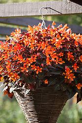 Begonia B11 Glowing Embers