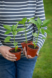Holding pots of young sweet pepper plants ready to plant out. Capsicum annuum