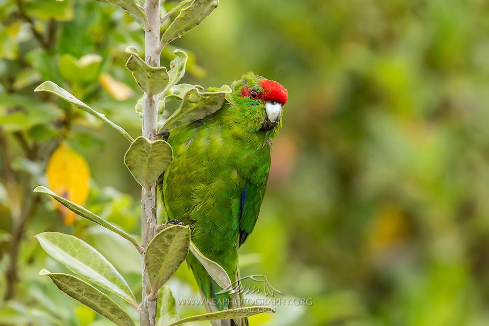 Kakariki (Red-crowned Parakeet), Tiritiri Matangi, New Zealand