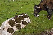 A  yak eats from a bowl outside the tent of Tibetan nomadic herder Karsal. (Karsal is featured in the book What I Eat: Around the World in 80 Diets.)   Fresh yak dung is drying on the rock, to be used as cooking and heating fuel since there are very few trees on the Tibetan Plateau.