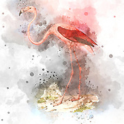 Digitally enhanced illustration of an American flamingoes (Phoenicopterus ruber [Here as Phoenicopterus americanus]). The American (or Caribbean) flamingo is a large wading bird which inhabits lakes and coastal waters in parts of South and Central America. It feeds by submerging its large bill in the water and filtering shrimp, plant matter and insects. Its pink colour is due to pigments in the shrimp that make up a large part of its diet.  From the book Histoire physique, politique et naturelle de l'ile de Cuba [Physical, political and natural history of the island of Cuba] by  Sagra, Ramón de la, 1798-1871; Orbigny, Alcide Dessalines d', 1802-1857 Publication date 1838 Publisher Paris : A. Bertrand
