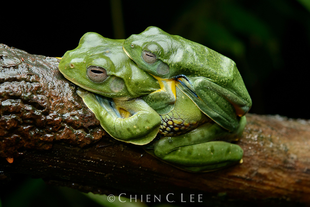 A pair of Bornean Gliding Frogs (Rhacophorus borneensis) in amplexus. Like other Rhacophorid tree frogs, the female will deposit a mass of eggs on a leaf overhanging a pool of water which are then fertilized by the male. Sarawak, Malaysia (Borneo).