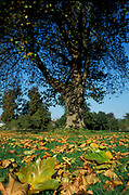 Silver Maple Tree, Acer saccharinum, UK, autumn colours,