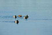 Mallards (Anas plathyrhynchos) at Baskett Slough National Wildlife Refuge, Dallas, Oregon