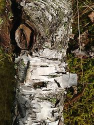 Tree Bark Detail, Witherle Woods, Castine, Maine, US