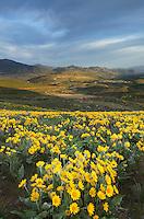 Methow Valley wildflowers, North Cascades Washington