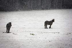 Horses in snow nearby Gesves - Belgium<br /> © Dirk Caremans