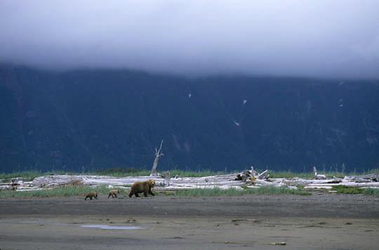 Alaskan Brown Bear, (Ursus middendorffi) Mother with very young cubs walking along tidal flats, high overcast, Katmai National Park. Alaska.