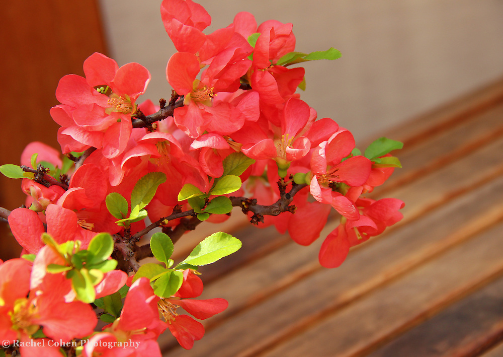 """""""Quince Blossoms"""""""