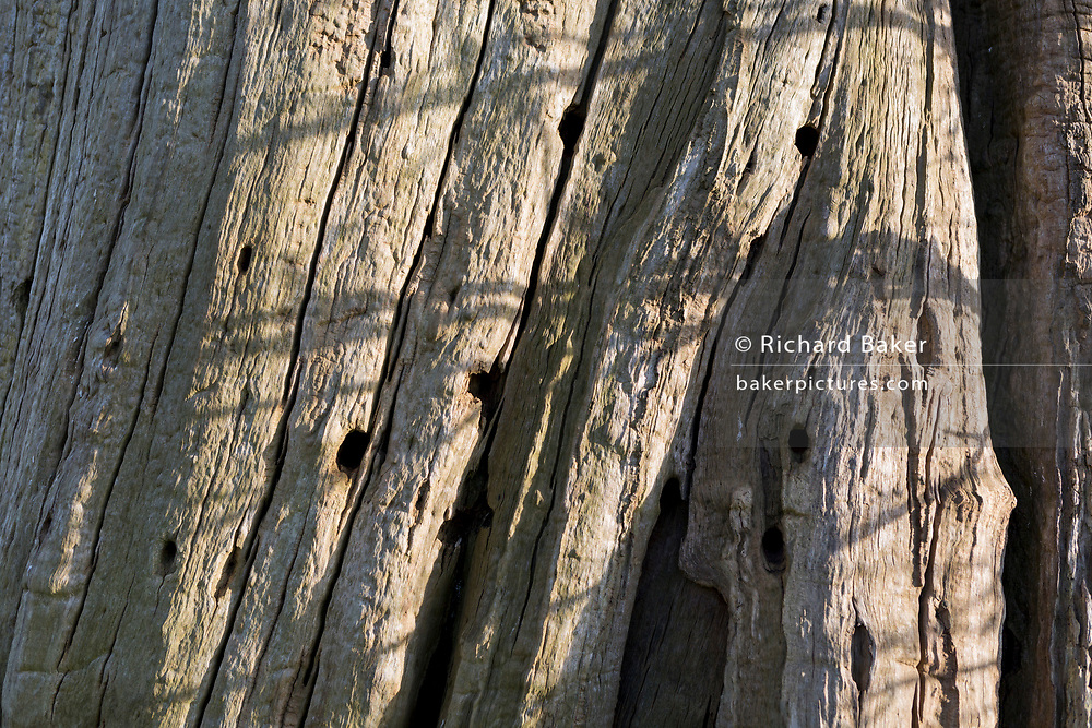 One of scarred Chestnut trees, remains of a wood on the Waterloo battlefield where French troops died in their thousands outside the walls of Hougoumont Farm, on 25th March 2017, at Waterloo, Belgium. The trees trunks are still pockmarked by musket fire with holes still embedded in the bark. The chateau became an epicentre of fighting in the Battle as it was one of the first places where British and other allied forces faced Napoleon's Army. 12,000 allied troops defending 14,000 French. The Battle of Waterloo was fought on 18 June 1815. A French army under Napoleon Bonaparte was defeated by two of the armies of the Seventh Coalition: an Anglo-led Allied army under the command of the Duke of Wellington, and a Prussian army under the command of Gebhard Leberecht von Blücher, resulting in 41,000 casualties.