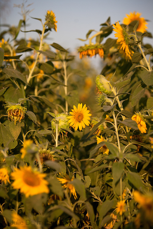 Sunflowers in Norco