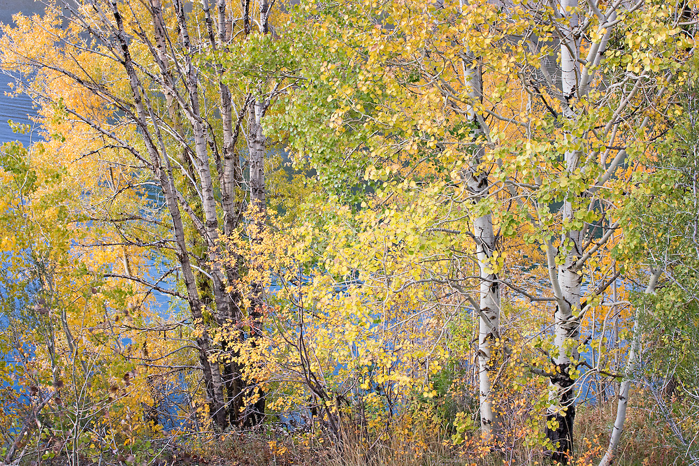 portrait of trees with autumn colors, Swan Valley, Idaho