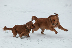 Windsor, UK. 1st February, 2019. Dogs enjoy an overnight snowfall in front of Windsor Castle on the Long Walk in Windsor Great Park. More snow is expected to fall during the morning in Berkshire and scores of schools will remain closed for the day.