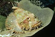 Smallscale Scorpionfish.(Scorpaenopsis oxycephala).Papua New Guinea
