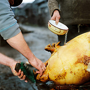 Two Romanian peasant farmers prepare a slaughtered pig in the street, Botiza, Maramures, Romania