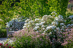 Rosa 'Kew Gardens' syn. 'Ausfence' AGM and astrantias around a bench