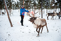 Coral hand Jakob lassoes and wrangles a male reindeer
