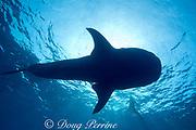 whale shark ( Rhincodon typus ) and snorkelers, Kona Coast of Hawaii Island ( the Big Island ) Hawaiian Islands, USA ( Central Pacific Ocean )