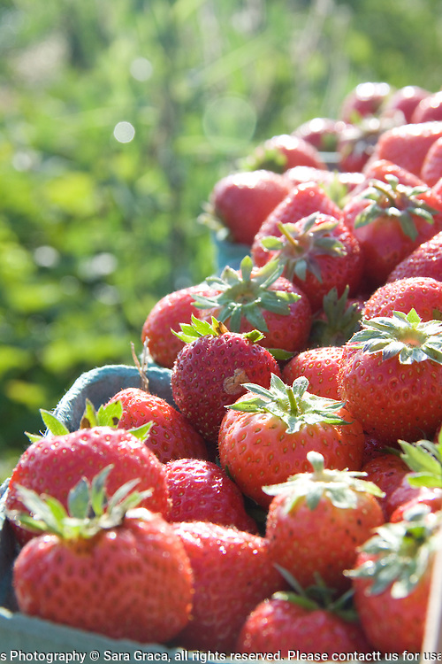 Strawberries picked fresh that morning for an afternoon farmers market in Tremont, Ohio.