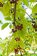 Ripe Cherries on a tree in a cherry orchard. Photographed in Cyprus in June