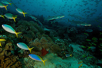 Late afternoon reef scene with schools of fusiliers and snappers settling closer to the reef.  Barracudas lurk.   The sheer biomass of fish on this reef is remarkable...Vicinity of Gam Island.