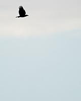 Bald Eagle (Haliaeetus leucocephalus). Black Point Wildlife Drive. Merritt Island National Wildlife Refuge. Image taken with a Nikon D3s camera and 200-400 mm f/4 VR lens.
