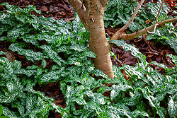 The foliage of Arum italicum 'Pictum' syn  A. italicum subsp. italicum 'Marmoratum' growing in the shade around the base of a tree