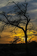 Dry parched tree in a desert landscape at sunset