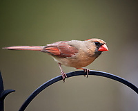 Female Northern Cardinal above a bird feeder. Image taken with a Nikon D5 camera and 600 mm f/4 VR lens (ISO 800, 600 mm, f/4, 1/1250 sec)