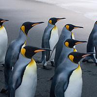King Penguins cross a beach at Gold Harbor, South Georgia, Antarctica.