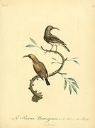 Sucrier Mamaquois ou a calecon blanc from the Book Histoire naturelle des oiseaux d'Afrique [Natural History of birds of Africa] Volume 6, by Le Vaillant, Francois, 1753-1824; Publish in Paris by Chez J.J. Fuchs, libraire 1808
