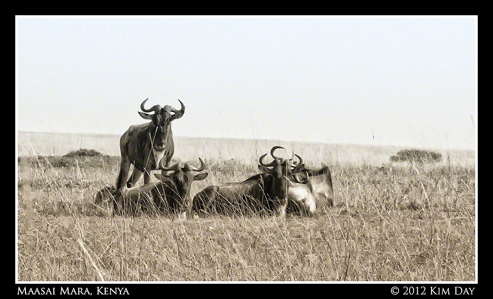 Wildebeests.Maasai Mara, Kenya.September 2012