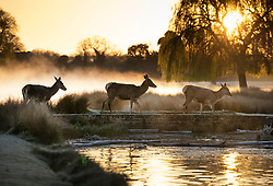 © Licensed to London News Pictures. 07/04/2021. London, UK. Deer cross a bridge over a misty pond in freezing conditions at dawn in Bushy Park, south west London. Below zero temperatures overnight have brought frost to some parts of the south. Photo credit: Peter Macdiarmid/LNP