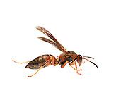 Paper Wasp (Polistes metricus) Paper wasp, Polistes sp, South Carolina