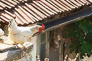 White rooster in the winery backyard looking down over a ledge getting ready to jump. Vita@I Vitaai Vitai Gangas Winery, Citluk, near Mostar. Federation Bosne i Hercegovine. Bosnia Herzegovina, Europe.