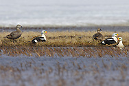 King Eider - Somateria spectabilisAdult males & females<br /> Barrow, AK<br /> June 2009