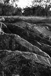 02/12/2010 Acquaviva delle Fonti, retina posta ai piedi di un albero...La raccolta delle olive e la produzione dell'olio extravergine sono un rituale che si protrae da moltissimo tempo in Puglia, questo avviene solitamente nel periodo che va da novembre a dicembre, mentre il lavoro di preparazione e coltivazione si svolge lungo tutto l'arco dell'anno..La raccolta è seguita nella maggior parte dei casi, quando le olive non vengono vendute all'ingrosso, dalla molitura presso gli oleifici per la produzione di quello che da queste parti viene chiamato anche oro verde..