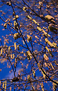 A87CYE Silver Birch tree with catkins