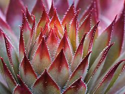 United States, Washington, Bellevue, succulent