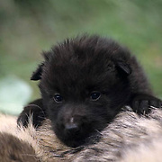 Gray Wolf, (Canis lupus) Young pup on adult. Montana.  Captive Animal.