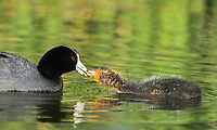 An American Coot, Fulica americana, feeds its chick while swimming in a lake in Papago Park, part of the Phoenix Mountains Preserve near Phoenix, Arizona