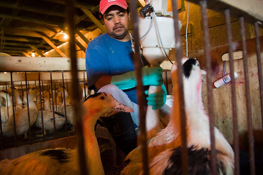 A worker uses a special machine to force-feed ducks at Hudson Valley Foie Gras in Ferndale, New York. Migratory birds, including ducks, are capable of storing large amounts of fat in their liver. Forced overeating replicates the effect, producing the enlarged, fatty livers used for Foie Gras.