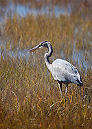 A great blue heron feeding on minnows in the marsh at Gray's Beach in Yarmouth.