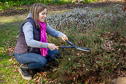Trimming back summer flowering heathers with hand shears in spring