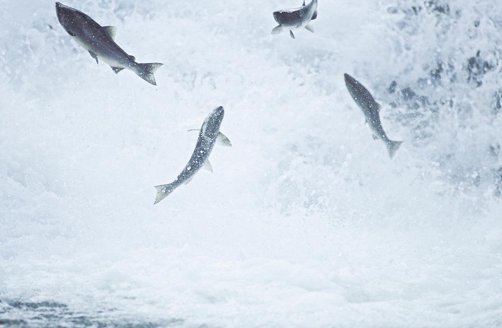 Salmon Symmetry at falls.  Alaska.