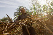 A local sugarcane cutter works in late-morning heat and dust near Qurna, a village on the West Bank of Luxor, Nile Valley, Egypt. In Egypt, sugar cane juice is called aseer asab and is by far the most popular drink served by almost all fruit juice vendors, who are abundant in most cities.