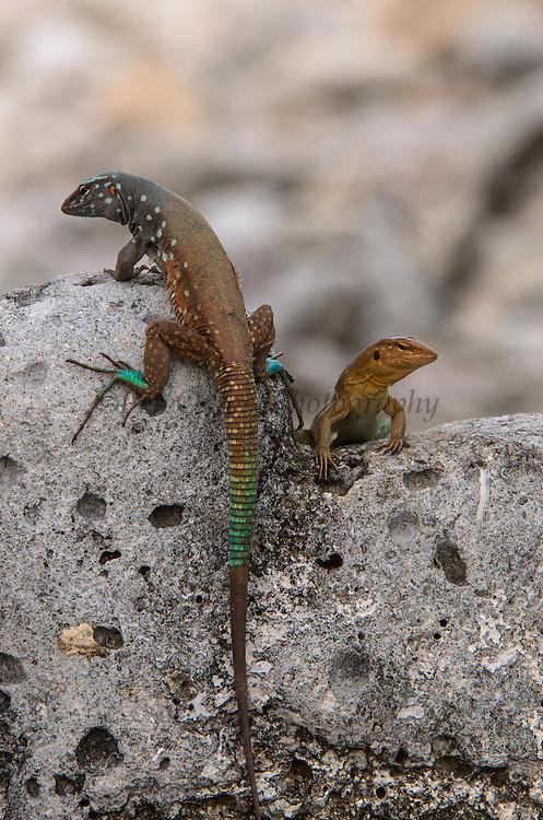 Bonaire Whiptail Lizard (Cnemidophorus murinus ruthveni) Male & Female<br /> BONAIRE, Netherlands Antilles, Caribbean<br /> HABITAT & DISTRIBUTION: Terrestrial mostly on sandy soils<br /> ENDEMIC TO: Bonaire & Klein Bonaire